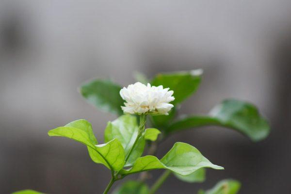 Hình Ảnh Hoa Nhài Đẹp 1
