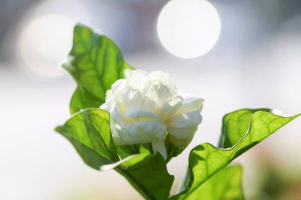 Hình Ảnh Hoa Nhài Đẹp 10