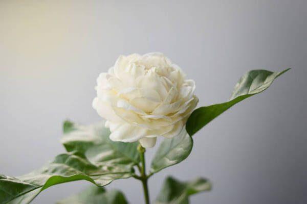 Hình Ảnh Hoa Nhài Đẹp 3