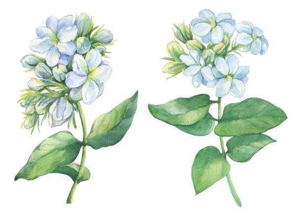 Hình Ảnh Hoa Nhài Đẹp 4