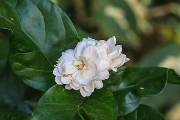 Hình Ảnh Hoa Nhài Đẹp 6