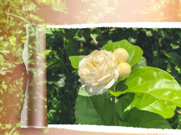 Hình Ảnh Hoa Nhài Đẹp 8