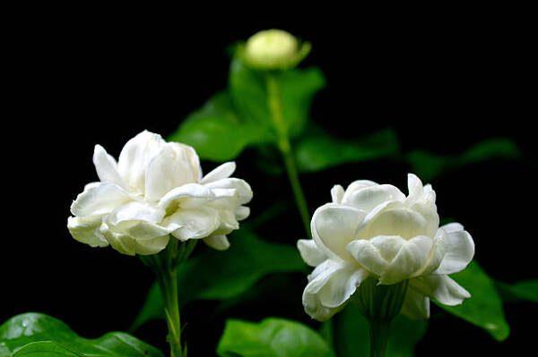 Hình Ảnh Hoa Nhài Đẹp 9