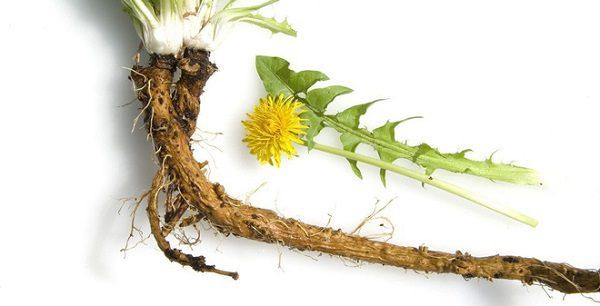Rễ Cây Bồ Công Anh