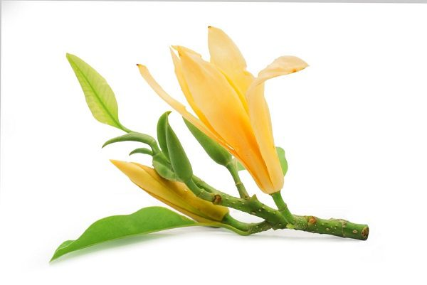 Hình Ảnh Hoa Ngọc Lan Đẹp 3