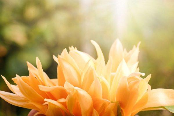 Hình Ảnh Hoa Ngọc Lan Đẹp 2