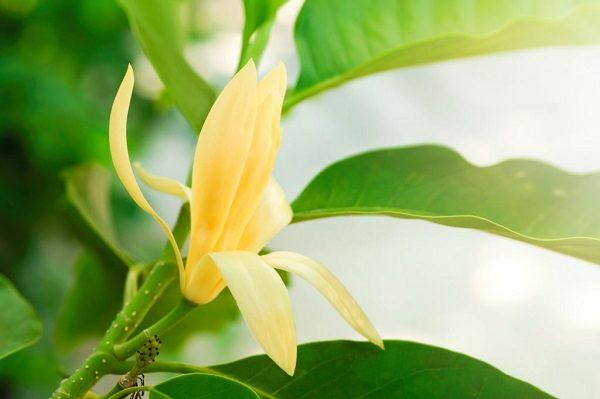 Hình Ảnh Hoa Ngọc Lan Đẹp Nhất