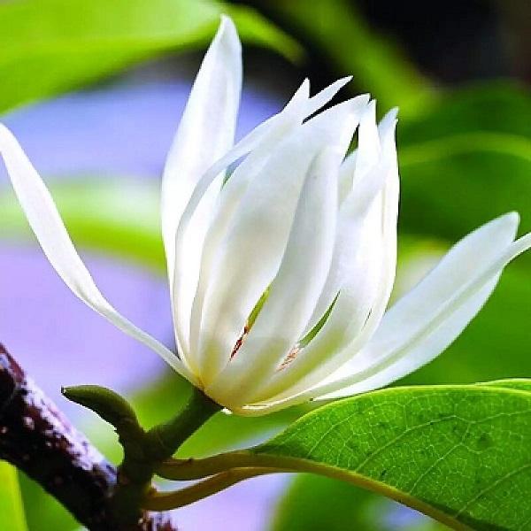 Hình Ảnh Hoa Ngọc Lan Đẹp 12