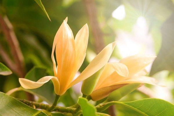 Hình Ảnh Hoa Ngọc Lan Đẹp 8