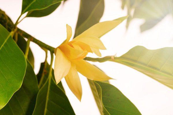 Hình Ảnh Hoa Ngọc Lan Đẹp 7