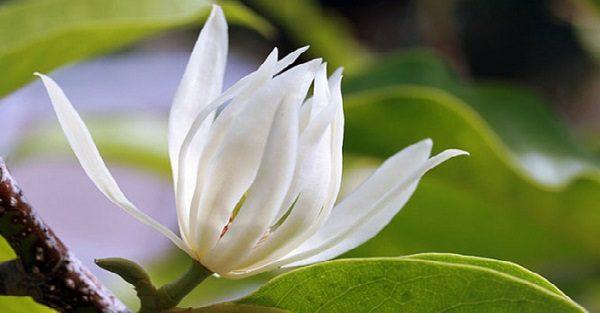 Hình Ảnh Hoa Ngọc Lan Đẹp 6