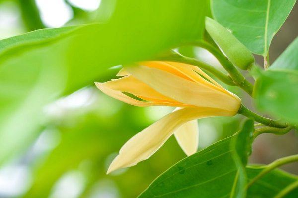 Hoa Ngọc Lan Nở Mùa Nào