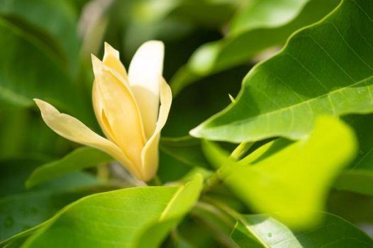 Hoa ngọc lan thơm