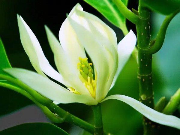 Hoa Ngọc Lan Trắng