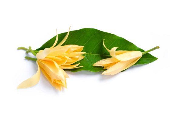 Hoa Ngọc Lan Vàng