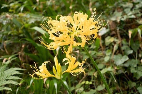 Hoa Bỉ Ngạn Vàng