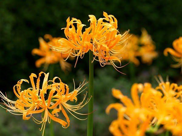 Hình Ảnh Hoa Bỉ Ngạn Đẹp 3