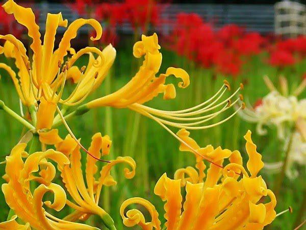Hình Ảnh Hoa Bỉ Ngạn Đẹp 2