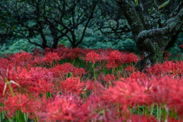 Hình Ảnh Hoa Bỉ Ngạn Đẹp 11