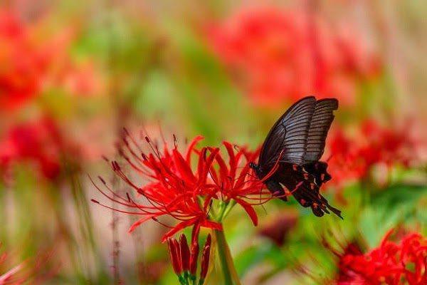 Hình Ảnh Hoa Bỉ Ngạn Đẹp 8