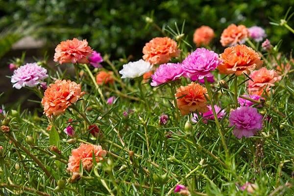 Hình Ảnh Hoa Mười Giờ Đẹp 1