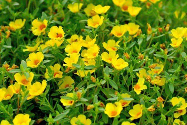 Hình Ảnh Hoa Mười Giờ Đẹp 2