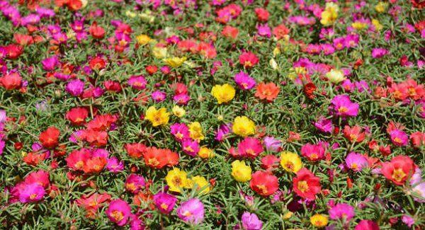 Hình Ảnh Hoa Mười Giờ Đẹp 5