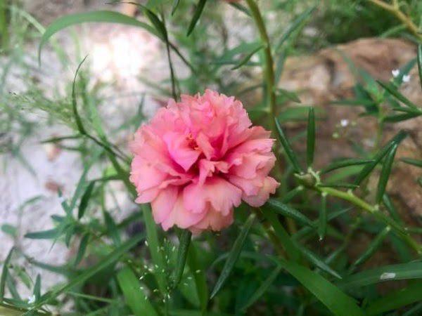 Hình Ảnh Hoa Mười Giờ Đẹp 8