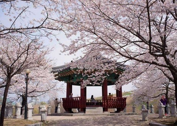 Hoa Anh Đào Hàn Quốc 5