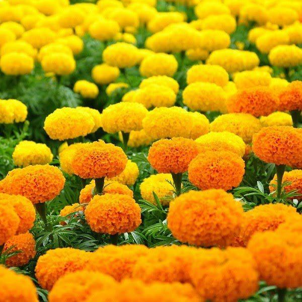 Hoa Cúc Vạn Thọ