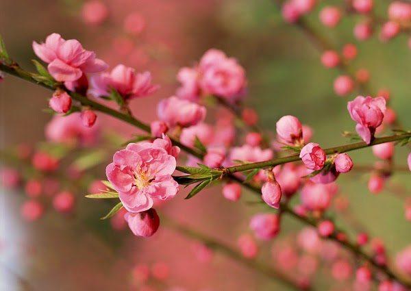 Hoa Mùa Xuân Hoa Đào