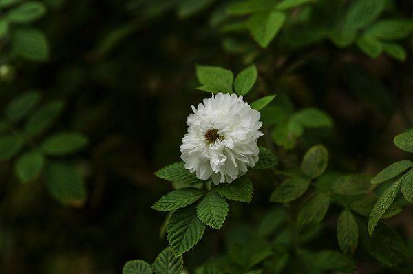 Hồng Cổ Tầm Xuân Bắc