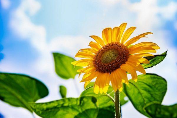 Hoa Hướng Dương Hướng Về Mặt Trời