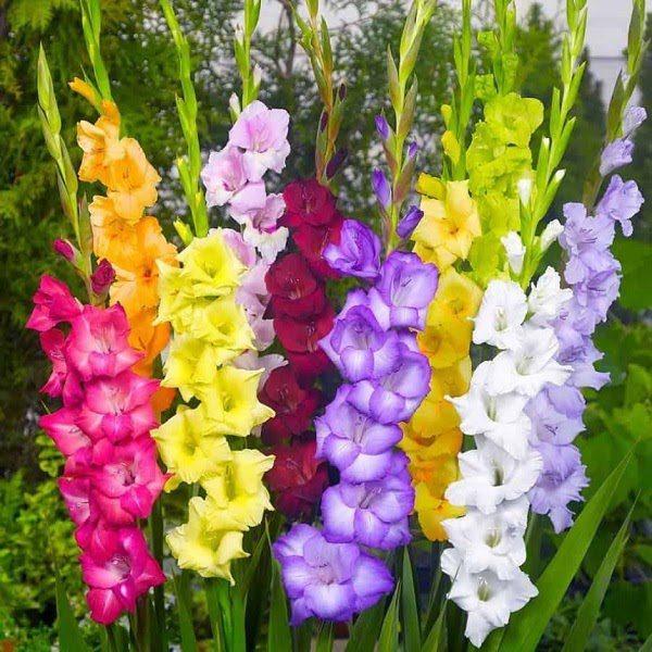 Hoa Mùa Xuân Hoa Lay Ơn