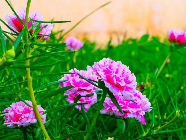 Cây Hoa Mười Giờ