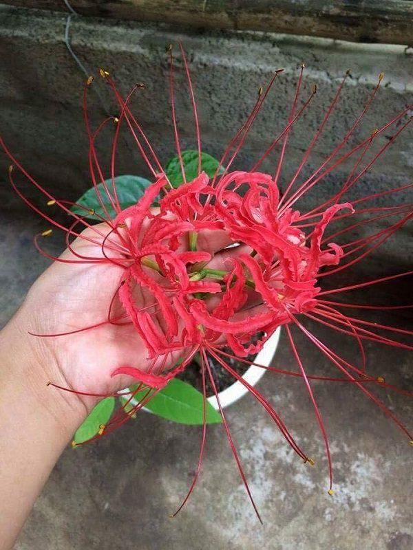 Lưu Ý Trồng Bỉ Ngạn Hoa Trong Chậu