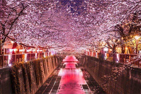Nhật Bản Mùa Hoa Anh Đào 1