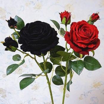 hoa hồng đen nở trong đêm
