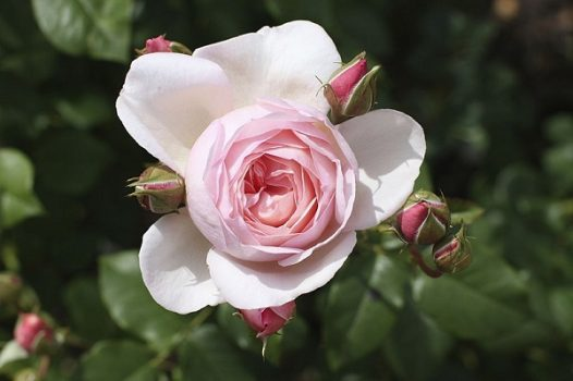 Review hoa hồng cổ
