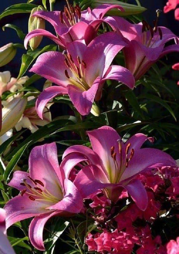 Hình Ảnh Hoa Ly Đẹp 13