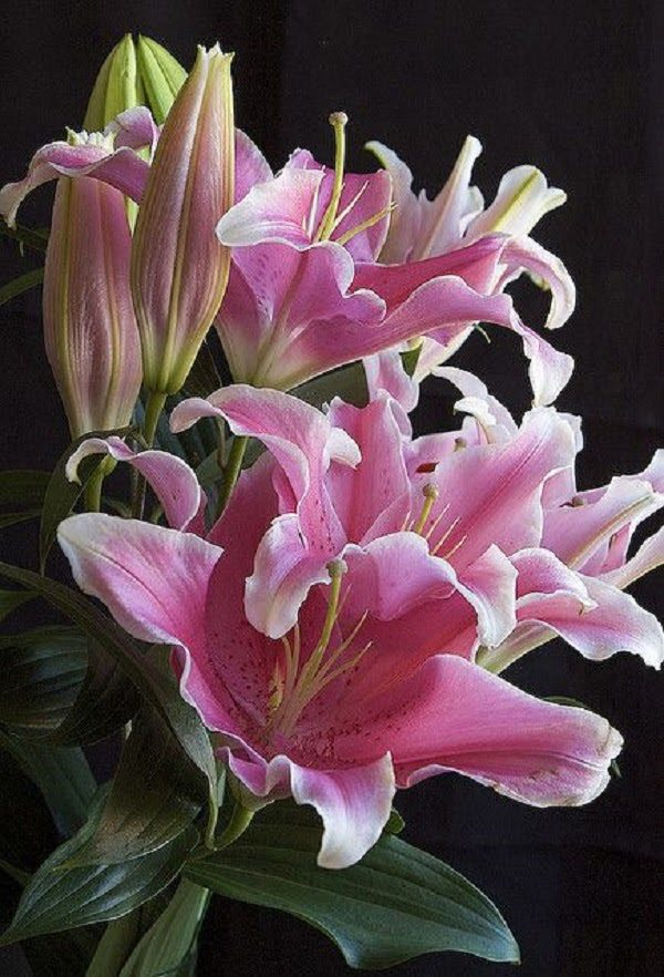 Hình Ảnh Hoa Ly Đẹp 16