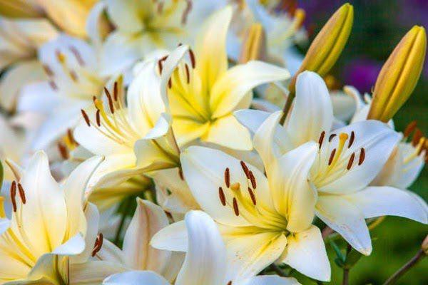 Hình Ảnh Hoa Ly Đẹp 1