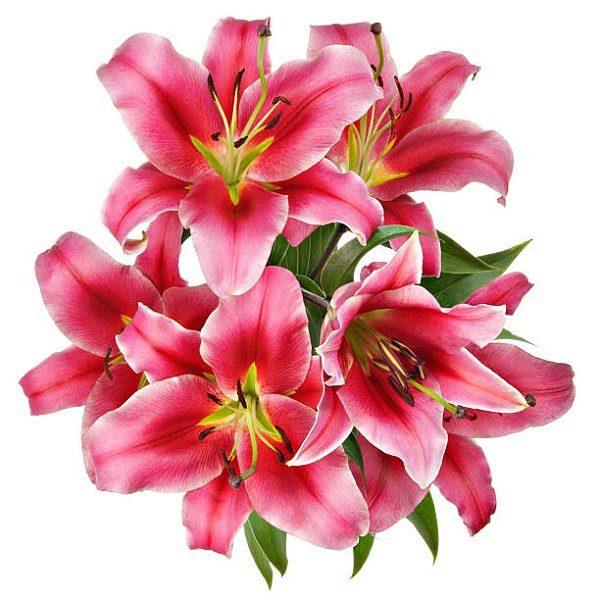 Hình Ảnh Hoa Ly Đẹp 5