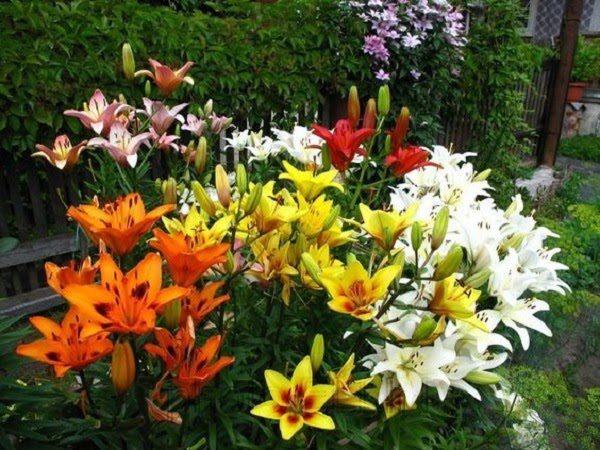 Hình Ảnh Hoa Ly Đẹp 7