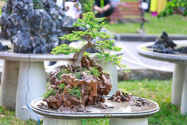 Cây Tùng Bồng Lai Cách Trồng