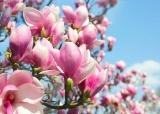 Cây hoa mộc lan – Loài hoa kiêu sa, tráng lệ