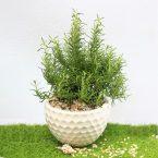 Cây hương thảo gì? Cách trồng và chăm sóc tại nhà