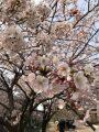 Cây Hoa Anh Đào Nhật Bản.., Ra Hoa Quanh Năm