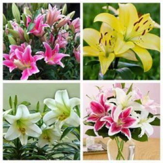 Giống Hoa Ly Lily