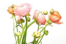 """Hoa mao lương – Loài hoa """"đẹp khuynh đảo"""" giữa rừng hoa"""